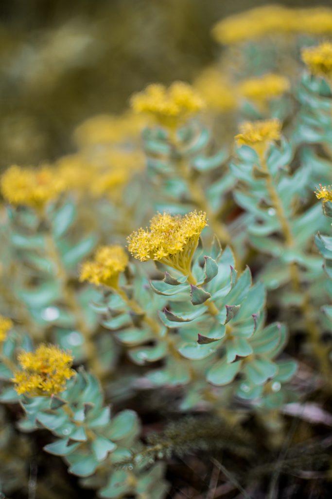 Rhodiola, la plante