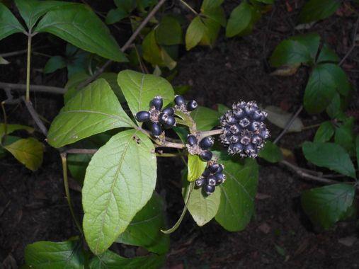 La plante de Griffonia